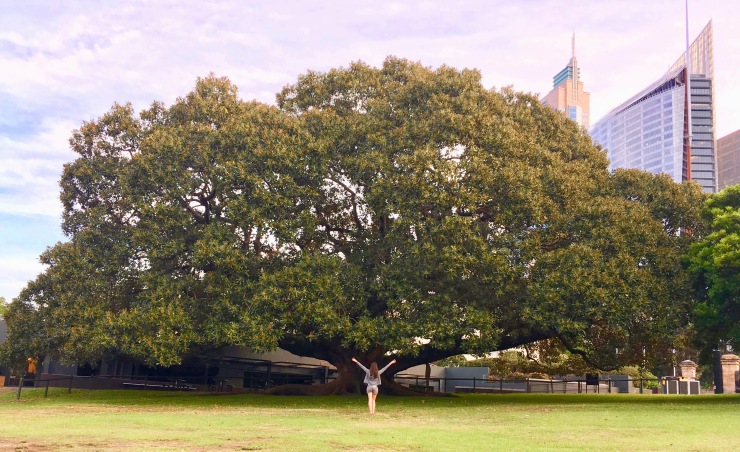 Arbre géant Sydney