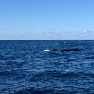 baleines a sydney 1