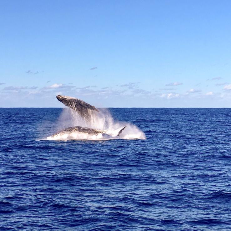 baleines saut sydney australie