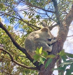 koala magnetic island itineraire australie